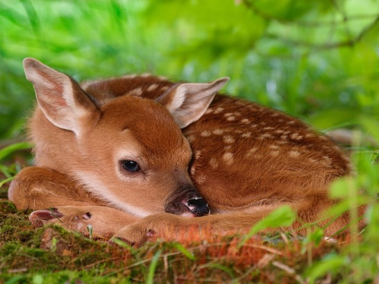 _downloadfiles_wallpapers_1600_1200_white_tailed_fawn_wallpaper_baby_animals_animals_571