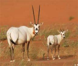 arabian_oryx.jpg