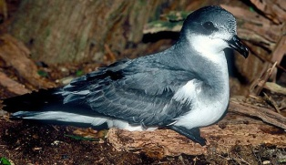 Photo from ARKive of the Chatham petrel (Pterodroma axillaris) - http://www.arkive.org/chatham-petrel/pterodroma-axillaris/image-G59913.html