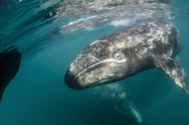 gray whale.jpg