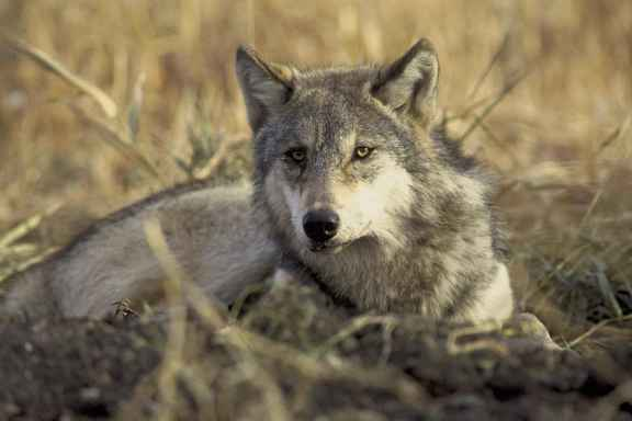 gray_wolf_canis_lupus-hollingsworth-john-and-karen-u-s-fish-and-wildlife-service.jpg