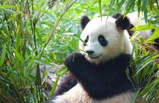 panda-bear-plain.jpg