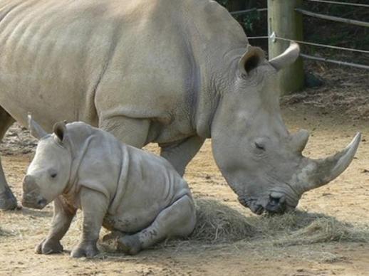 SetWidth700-southern-white-rhinoceros.jpg