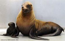 stellar sea lion.jpeg