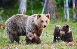 yellowdtone grizzly.jpg